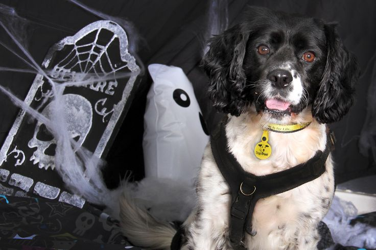 Happy Halloween from our handsome sponsor dog Stanley at Dogs Trust Leeds. If you would like to sponsor a dog like Stanley, click his image.