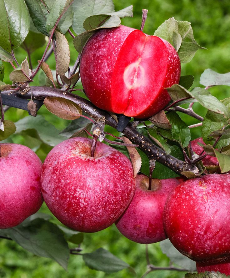 The Fleshy Red Apple 'Baya® Marisa' is a delicious apple full of vitamins and antioxidants! This unique apple has red flesh and a deliciously sweet, slightly acidic, aromatic flavor. Not only Apple but also the blossom it is beautifully colored red, what this apple tree gives a great ornamental value. This apple tree therefore fits perfectly in your border.