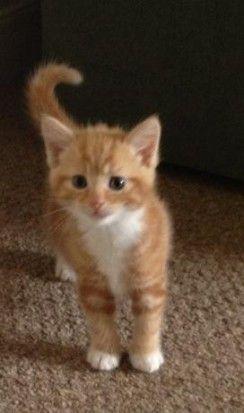 Norwegian Forest/BSH cross ginger kitten