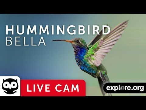 Bella Hummingbird—the star of this webcam—is busy diligently raising her babies in La Verne, CA. Watching her weave bits and scraps of errant material together to create a nest of spider-like silk was magical. The silk bindings ingeniously allow the nest to expand as her babies grow.  Watch Bella manage as her offspring mature before your eyes.