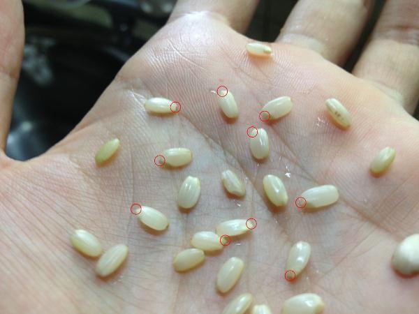 玄米を短時間で発芽させ、旨み成分を十二分に引き出し、白米よりふっくら炊き上げる方法