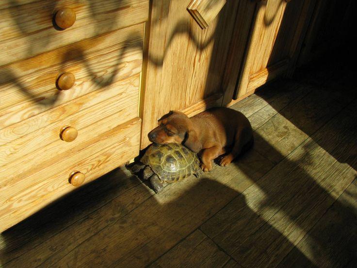Żółw i jamnik