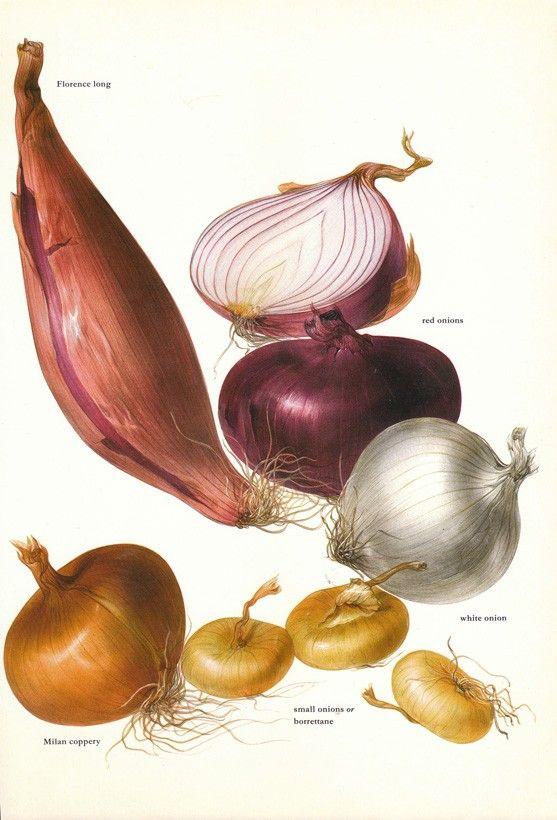 Vintage 1960s Onion Color Illustration Book Page to frame via Etsy