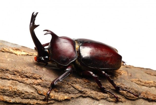 Single horn beetle