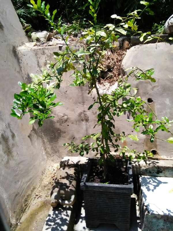 Lime leaf Tree for cook..... yimmy