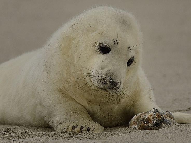 Lekkere warme vacht -De pups van de grijze zeehond stelen de show. Ze dragen als pasgeborene een mooie langharige witte vacht. Na de zoogperiode van een week of drie moeten ze die vacht afgooien. Ook heeft de grijze zeehond een vetlaag van wel 5 centimeter. Die vetlaag houdt de kou van het water tegen en zorgt dat de lichaamswarmte van het dier lekker binnen blijft.