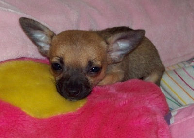 Chihuahua Information and Pictures, Chihuahuas, Taco Bell Dog