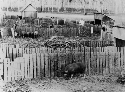 c 1875 paling fence pig pens Fassifern district