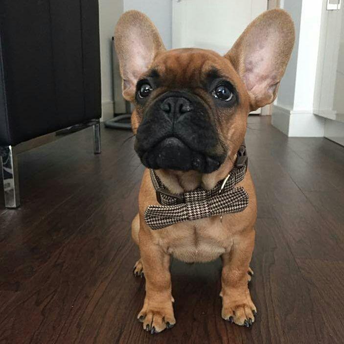 French Bulldog Breed Characteristics | PuppySpot