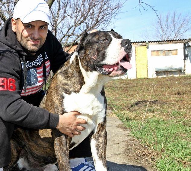Boss Bull Canario Roy Dogo Canario