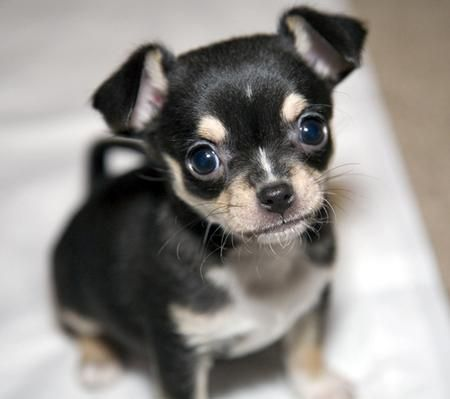 Too precious!!: Puppies Pictures, Puppies Dogs, Gifts Cards, Dogs Cute Puppies Chihuahua, Chihuahua Puppies, Baby Dolls, Aww Puppies, Baby Puppies, Adorable Animal