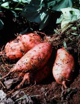 ~Growing Sweet Potatoes~