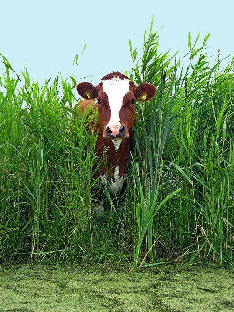 .I like cows too