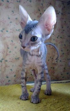 What a strange and oddly cute little kitty