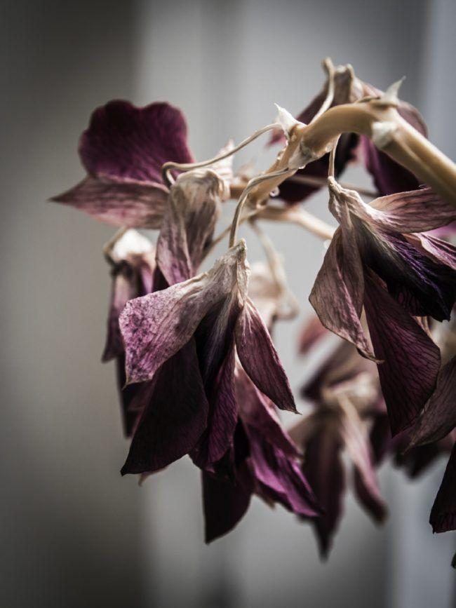 orchideen-krankheiten-trockene-blueten-pflegetipps-standort