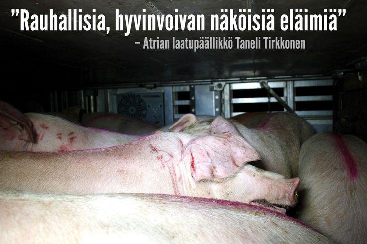 Atrian laatupäällikkö, eläinlääkäri Taneli Tirkkonen kommentoi Maaseudun tulevaisuudessa yhtiön eläinkuljetuksesta julkaistua videota (vimeo.com/125849327)