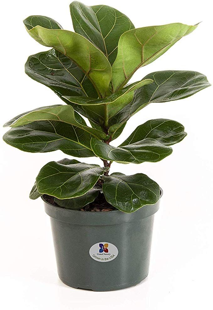 Amazon.com : United Nursery Ficus Lyrata Pandurata Plant Fiddle Leaf Fig Live Outdoor Tree Indoor House Plant…