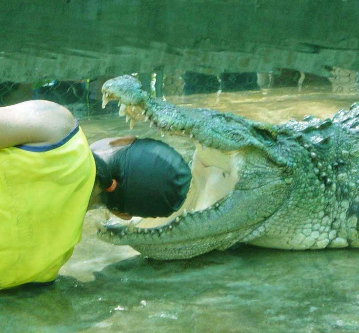 Alligator vs shark attacks - photo#35
