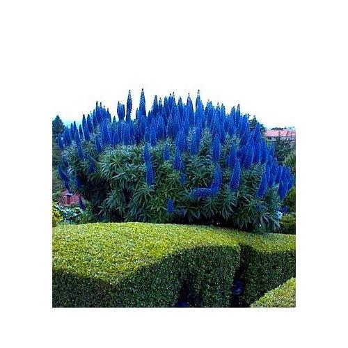 Tower Perennial Gardens: 120 Best ECHIUM Images On Pinterest