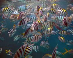 Oceano Indiano - Pesci acqua dolce e salata d'acquario - descrizione, diffusione, alimentazione, riproduzione