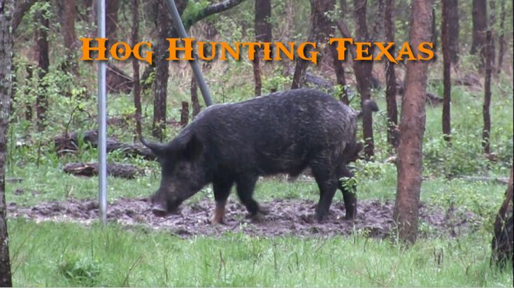 Hog Hunting Texas  It was a nasty rainy day down in Texas but that did not stop us from going hog hunting. Knowing the cooler temps and the muddy food plots would all but sure to bring the pigs out to feed. We ended up getting stuck going up hillon a washed out two track road even in four wheel drive. We decided to just turn the truck around and head in on foot. Packing all the camera gear and armed with an AR-15 made the muddy walk a chore, to say the least.    After what seemed…