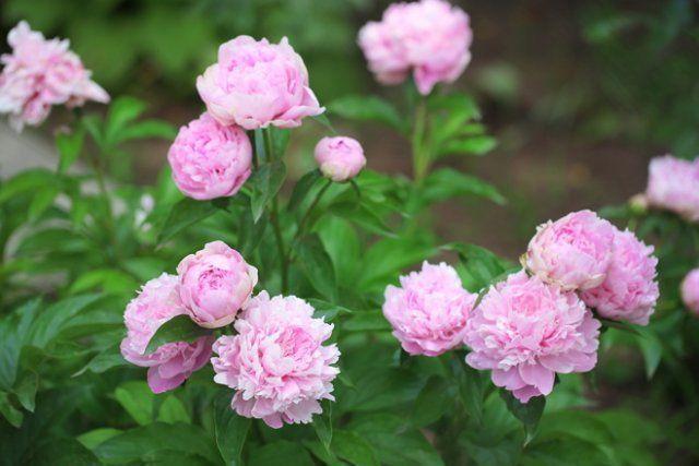 Для пышного цветения пионы подкармливают 3 раза за сезон