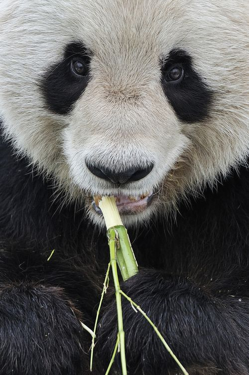 "earth-song:  ""Giant Panda Close-Up"" by Josef Gelernter"