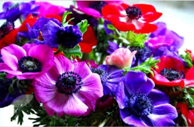 Crowner anemone  It creates incredible images in the fields with the variegation. Flowers 5-8 petals painted red - blue - violet the cream with dark stamens.