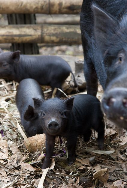 black pig family.   The piglets are so much fun to watch,  hurrying about like there's no time to waste.