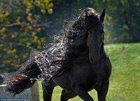 Самая красивая лошадь - черный жеребец Фридрих Великий
