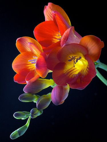 Freesia flowers smell magnificently, and they are the perfect flowers to give to somebody you don't see a lot, as they symbolize thoughtfulness, and caring for someone regardless of distance.