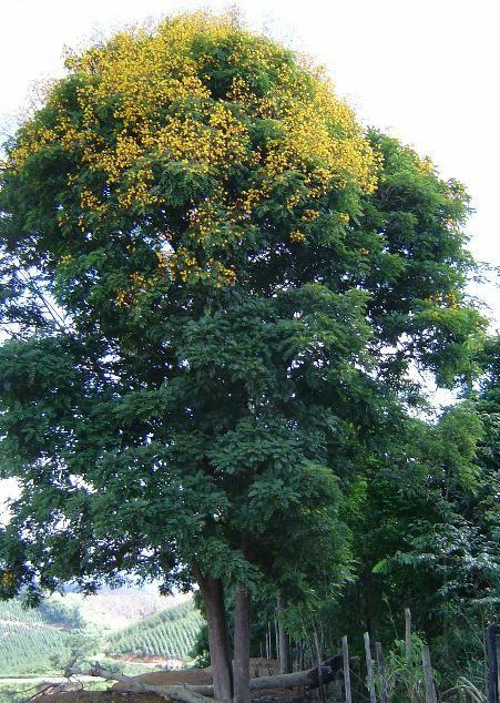 Brauna - Melanoxylon brauna Família: Fabaceae Caesalpinioidae Nomes populares: Braúna preta, Braúna, Guaraúna, Muiraúna Onde é encontrada: Encontrada com certa freqüência na região, porém em geral são árvores não muito velhas. Médio a grande porte, 15 a 25m de altura, folhas imparipinadas, 15 a 29 folíolos de 5-7 cm. Fruto vagem grande e larga. Aprox. 12 x 3 cm. Semente alada, envoltório branco, semente marrom. Muito procurada por insetos.  Floresce em Maio. Coleta de frutos em Setembro.