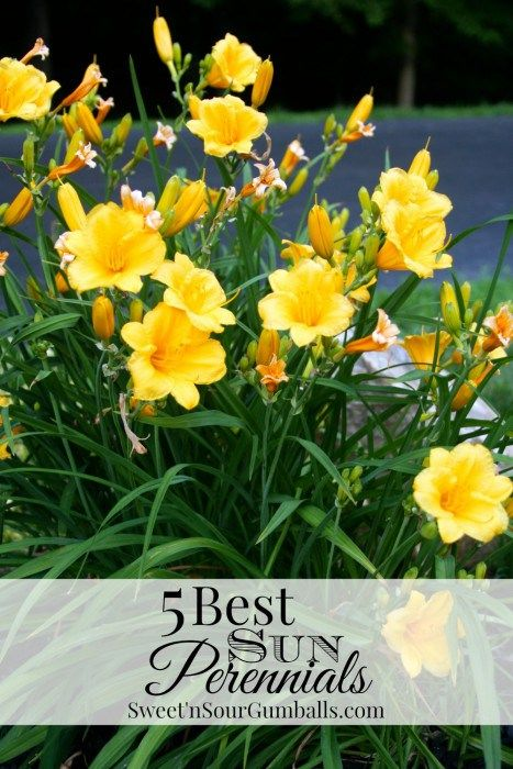 Five Best Sun Perennials Including Salvia, Daylily