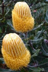Hybrid Banksia, Albany Region, WA