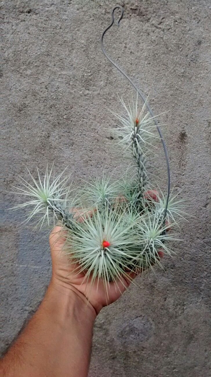 Tillandsia funckiana var recurvifolia