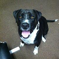 Arroyo Grande, California - Labrador Retriever. Meet Ricky, a for adoption. https://www.adoptapet.com/pet/17945497-arroyo-grande-california-labrador-retriever