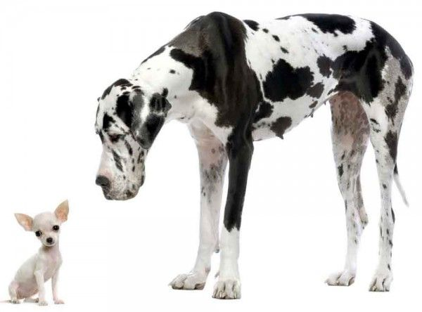 """Photographer ?: Albino Mexican Chi, on the left; and his friend is a Great B+W Spotted Dane, on the right. """"Love the juxtaposition of big and small here, but photo quality  would have been dramatically improved against a dark background!"""""""