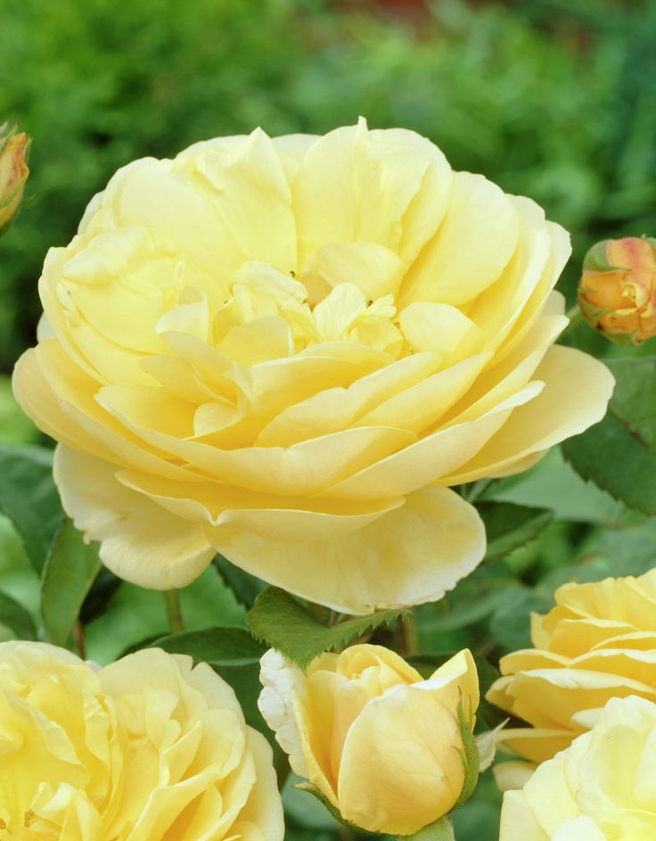 'Graham Thomas' | Shrub. English Rose Collection. Bred by David C. H. Austin (United Kingdom, 1983).