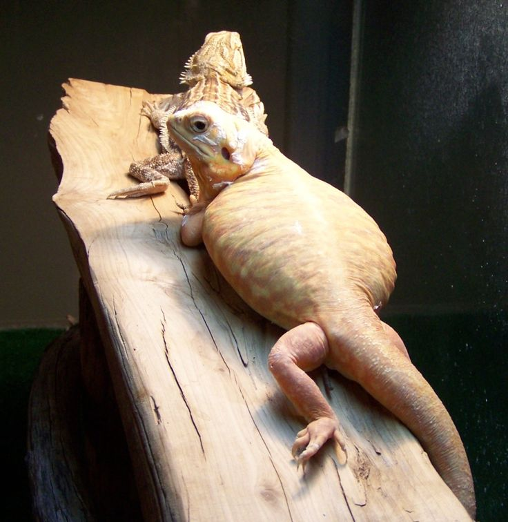 1000+ images about Pet Dragonz -- Pogona vitticeps on ...