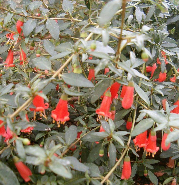 Correa pulchella (salmon correa, Australian fuchsia) is a species of flowering plant in the family Rutaceae. It is small evergreen shrub, endemic to South Australia