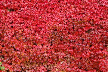 foglie di vite americana colorate di rosso in autunno