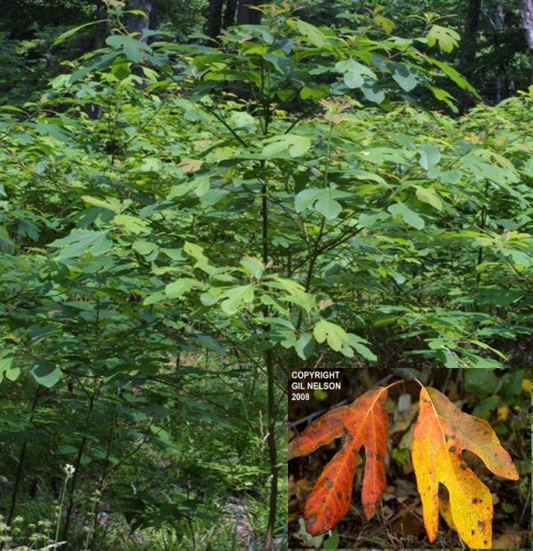 Sassafras albidum (Sassafras Tree)