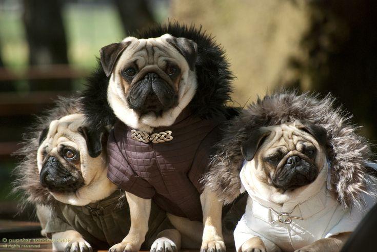 Valentino's Pugs: Crafts Ideas, Valentino Pugs, Fashion Pugs, Bing Images, High Fashion, Animal Friends, Fashion Dogs, Pugs Life, Adorable Animal