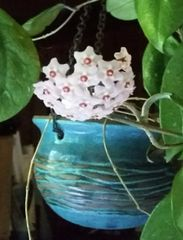 Hoyas  Vining Succulent Plants. Grow Hoya Plants Indoors Or Out In Partial  Or