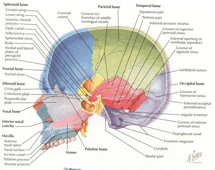 Md anatomy board
