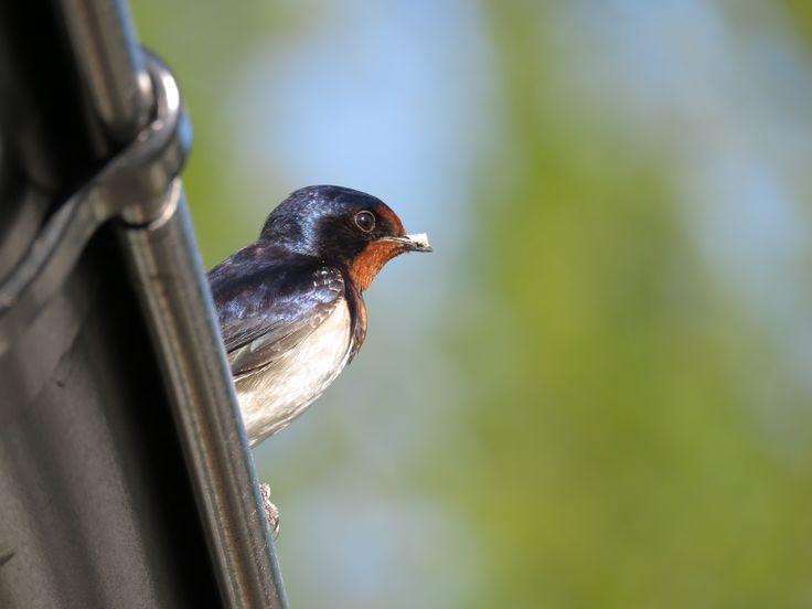 Barn swallow / Låvesvale / Hirundo rustica. Stokke, Vestfold, Norway, 27 May 2017