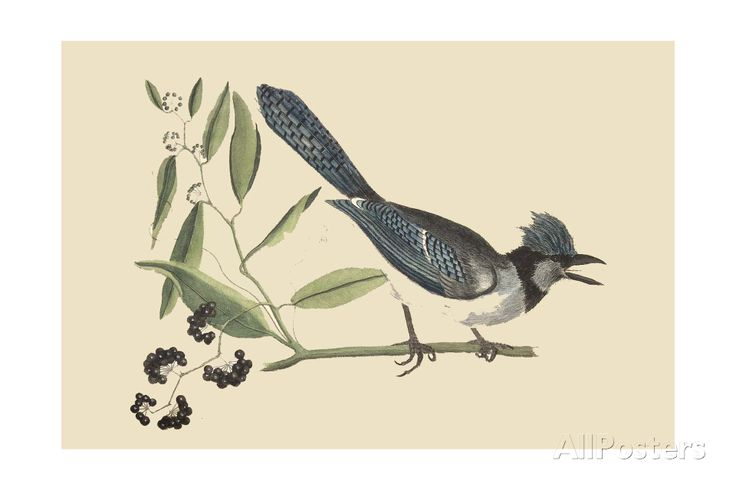 Crested Blue Jay Art Print at AllPosters.com