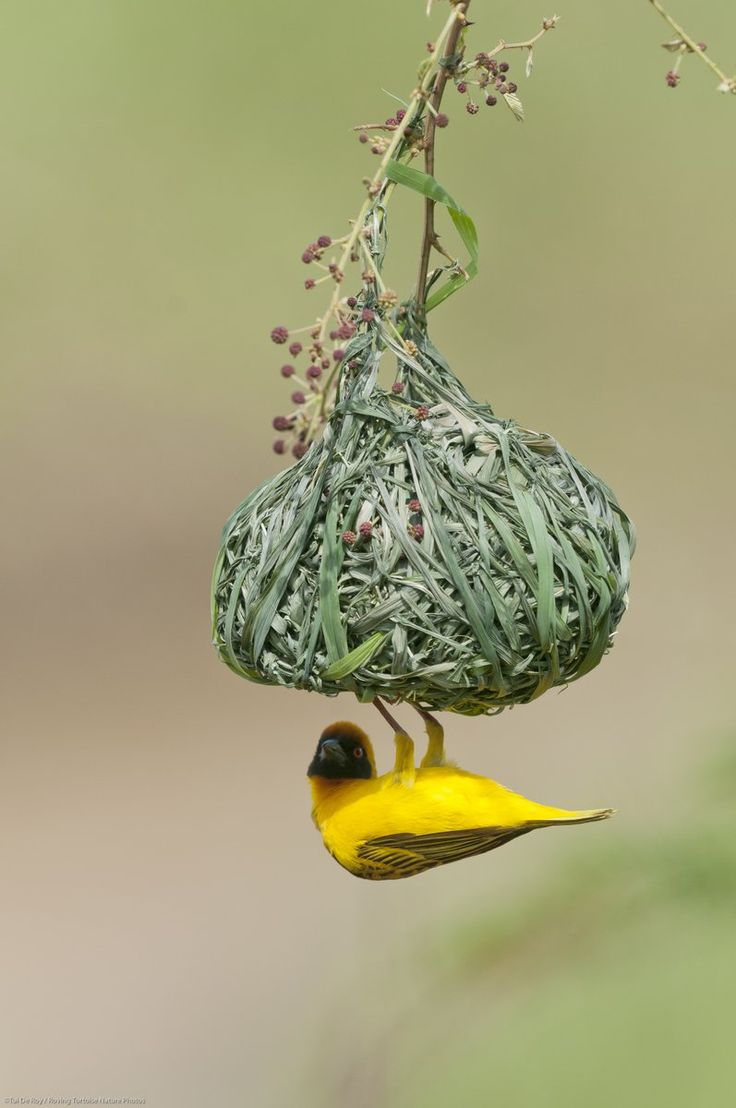 Ol Pejeta@OlPejeta A male Vitelline masked weaver busy finishing off construction of its nest. These common birds are members of Ploceidae, the weaver finches, a family of birds named in honour of the elaborate woven nests built by many species within this group. Photo by Tui De Roy