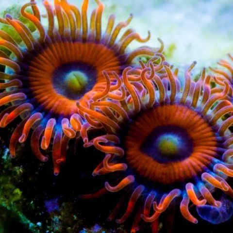 Zoanthids are an order of cnidarians usually found in coral reefs, the deep sea and many other underwater environments around the world. These animals come in a variety of different colonizing formations and in numerous colors.