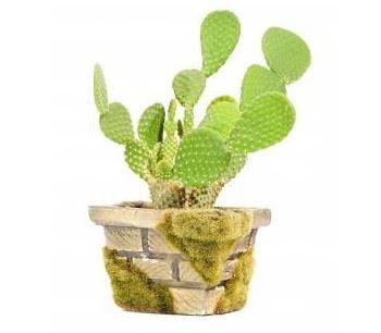 Bunny Ear Cactus - Opuntia Microdasys - Care  Information